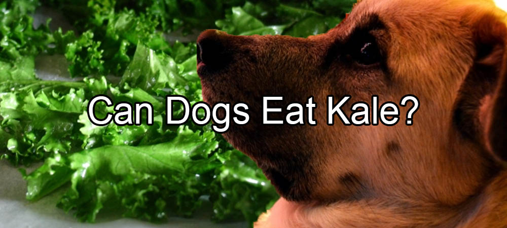 can dogs eat kale