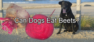Can Dogs Eat Beets