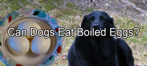 Can Dogs Eat Boiled Eggs