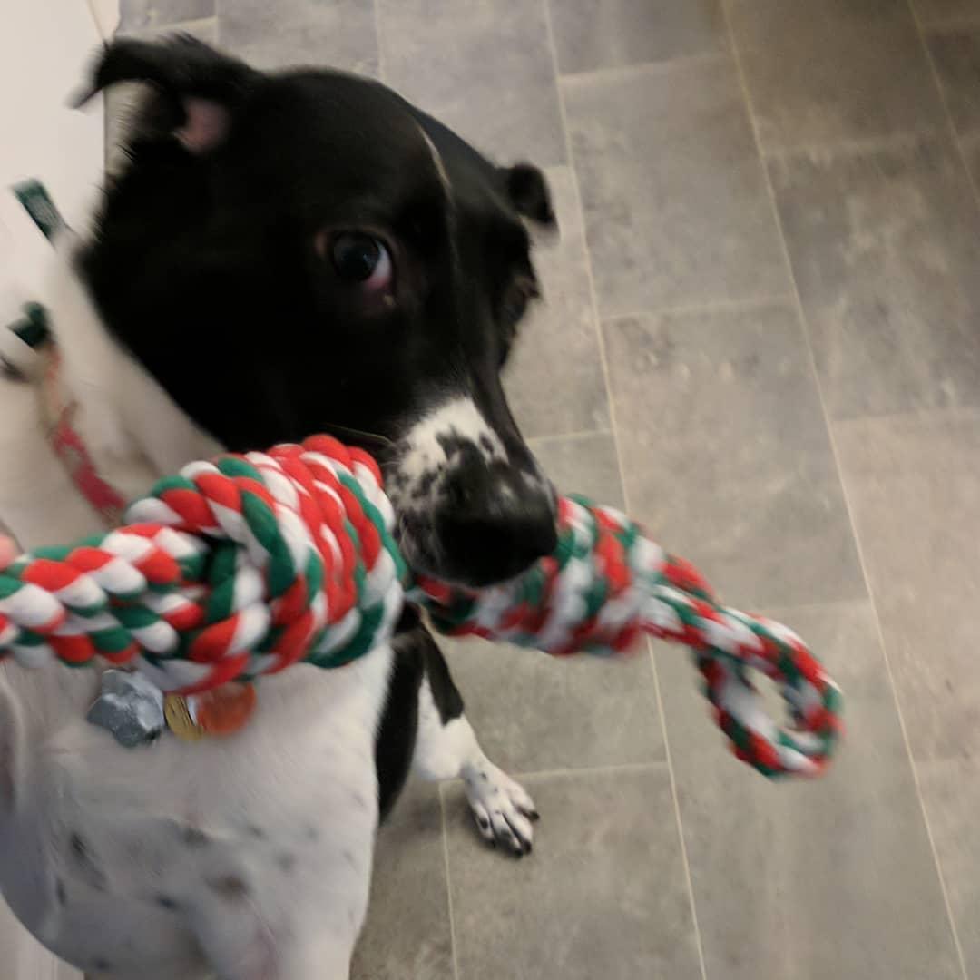 Oreo Dog