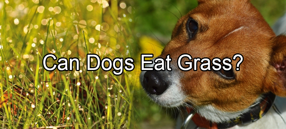 can dogs eat grass