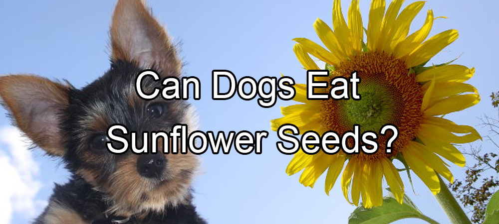 Can Dogs Eat Sunflower Seeds?