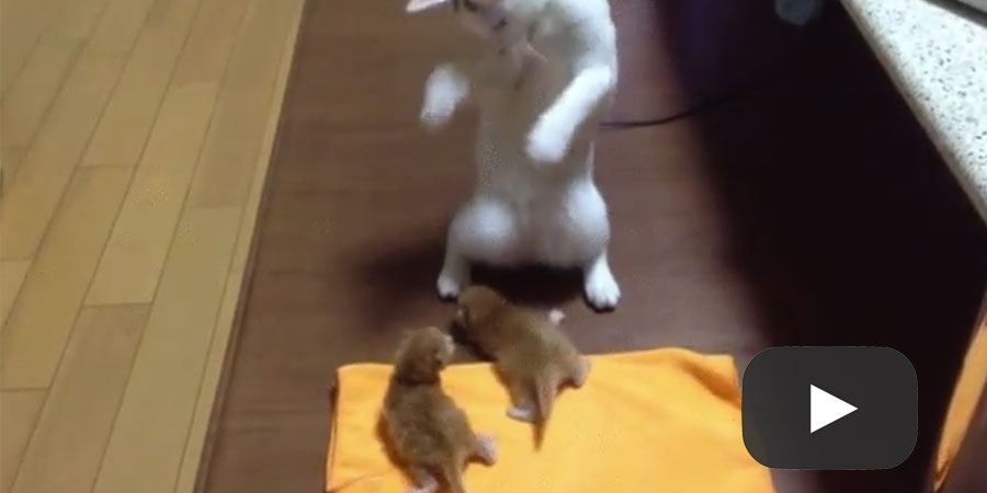 Shaman cat performs ritual to grant kittens their nine lives!