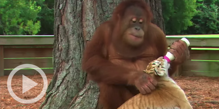 This Orangutan Was Shown How To Care For Tiger Cubs… The Result Is Just Too Cute.