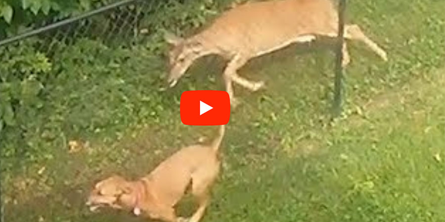 Watch This Dog & Deer Play Together Through A Fence